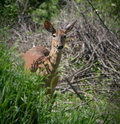 Small deer peeking a directly into the camera from behind some grass Royalty Free Stock Photo