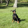 Small Doberman Stock Image