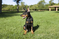Small Doberman Stock Photo
