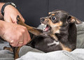 Small dog aggression Royalty Free Stock Photo