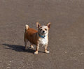 Small Dog with Attitude Royalty Free Stock Photography