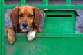 Small dog behind the gate sad beagle like behing Royalty Free Stock Photography