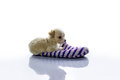 Small dog lies in the Slipper Royalty Free Stock Photo