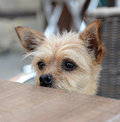 Small dog looking over table a on a chair the edge of a Royalty Free Stock Photos
