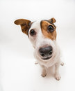 Small dog portrait of female jack russell terrier Stock Images