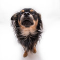 Small dog portrait of male chihuahua Royalty Free Stock Images