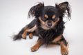 Small dog portrait of male chihuahua Stock Photos