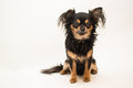 Small dog portrait of male chihuahua Royalty Free Stock Photos