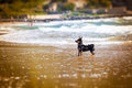 Small dog at sea. Fun for animals. Royalty Free Stock Photo