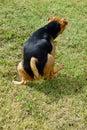 Small Dog Urinating Grass Royalty Free Stock Photo