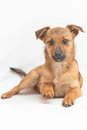 Small dog on white background lying with a raised paw Royalty Free Stock Photo