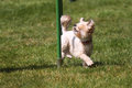 Small dog working agility Royalty Free Stock Photography