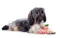 Small doggie decorative thoroughbred dog puppy of the petersburg orchid shaggy doggie the dog lies doggie and roses doggie and Stock Photos