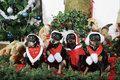 Small dogs dressed as father christmas with greetings