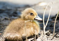 Small duck. Royalty Free Stock Photos