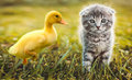 Small duckling outdoor playing with a cat on green grass Royalty Free Stock Photo