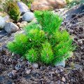The small dwarf pine, a family of conifers, on a background of p Royalty Free Stock Photo