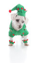 Small elf or jester puppy dog looking down at something pet dressed as an leprechaun is white background Stock Photo
