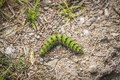Small Emperor Moth caterpillar in neon green colors Royalty Free Stock Photo
