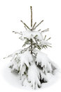Small fir in the snow on white Royalty Free Stock Photo