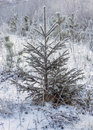 Small fir in winter russian forest Royalty Free Stock Image