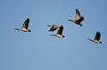 Small Flock of Canada Geese Flying in a Blue Sky Royalty Free Stock Photo