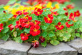 Small florets nasturtium short growing in a flowerbed in a stone fence tropaeolum genus of herbaceous plants green leaves and Royalty Free Stock Photography