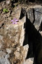 Small flower grows on a rock purple Royalty Free Stock Photography