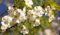 Small flowers apple tree photographed close up small depth sharpness Royalty Free Stock Photo