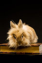 A small fluffy brown rabbit on a book Stock Photography