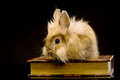 A small fluffy brown rabbit sitting on a book Royalty Free Stock Photo