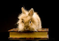 A small fluffy brown rabbit sitting on a book Stock Photos