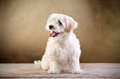 Small fluffy dog sitting Royalty Free Stock Photos