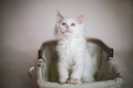 Small fluffy kitten sitting in basket on white background Royalty Free Stock Photo