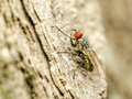 Small fly insect with red eyes macro Royalty Free Stock Photography