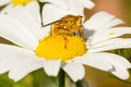 Small fly on an ox eye daisy Stock Photos