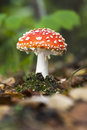 Small flyagaric or toadstool growing on the ground Stock Photo