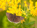 Small Funereal Duskywing butterfly Royalty Free Stock Image