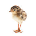 Small funny chick pheasant isolated on white background Royalty Free Stock Images