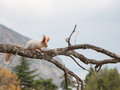 Small furry red squirrel without a foot on branch in the background of trees Royalty Free Stock Photo