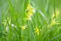 Small gagea lutea flowers fresh grass background yellow star of bethlehem spring lily family perennial herb first in the Royalty Free Stock Photos