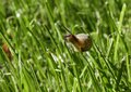 A small garden snail - Helix aspersa, eating grass Royalty Free Stock Photo