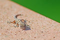 Small gecko Royalty Free Stock Photo