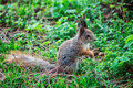 Small ginger squirrel in park. Royalty Free Stock Photo