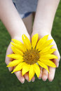 Small girl holds beautiful sunflower Royalty Free Stock Photo