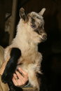 Small goat Royalty Free Stock Photo