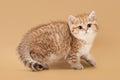 Small golden british kitten on light brown background Stock Images