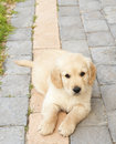 Small golden retriever puppy Stock Images