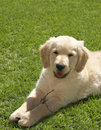 Small golden retriever puppy Stock Image