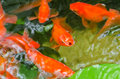 Small goldfish in a pond close up Stock Images
